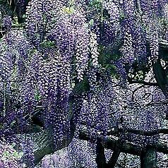 Wisteria Sinesis 5 Seeds- Beautiful, Fragrant Climber