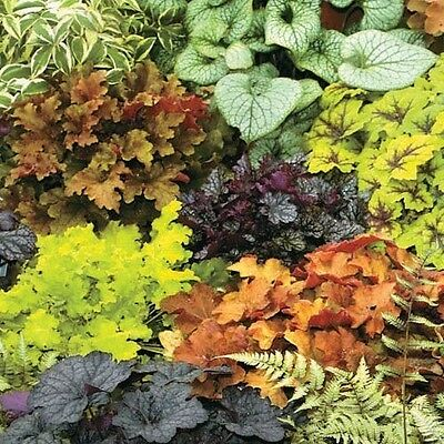 Heuchera Seeds Mixed, Coral Bells Seeds - year-round palette of colours