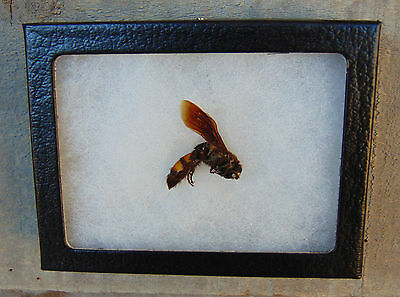 E115) Real SCARAB HUNTING WASP 3X4 framed display insect butterfly Hymenoptera