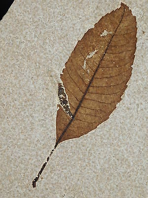 WoW! A RARE 100%Natural 50 Million Year Old AAA LEAF Fossil From Wyoming 138gr e