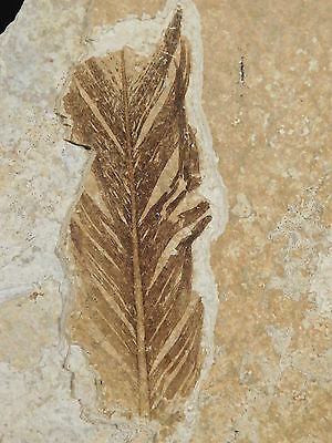 WOW!! A 50 Million YEAR Old 100% Natural AAA BIRD FEATHER Fossil Wyoming 649gr e