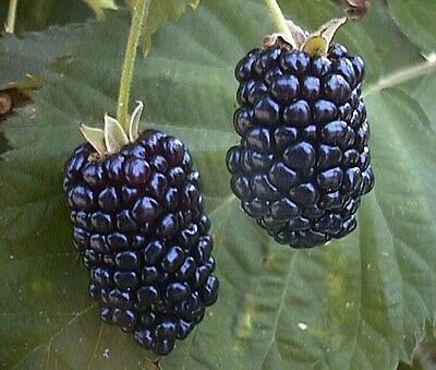 Giant Blackberry Seeds - up to 3 inch long Sweet and Juicy
