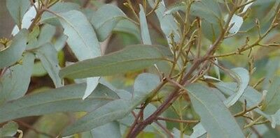 BLUE-LEAVED MALLEE (Eucalyptus cyanophylla) 50 seeds