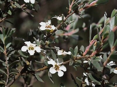MYRTLE TEA-TREE (Leptospermum myrtifolium) 100 seeds