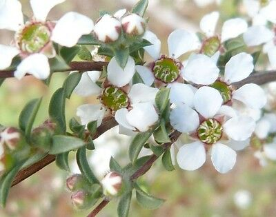 HILL TEA-TREE (Leptospermum divaricatum) 100 seeds