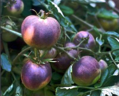 Blueberry Tomato 10 Seeds-Sweet,yielding whole season,rare, NON-GMO