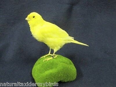 Large Standing Yellow Canary Real Bird Taxidermy Bird Mount