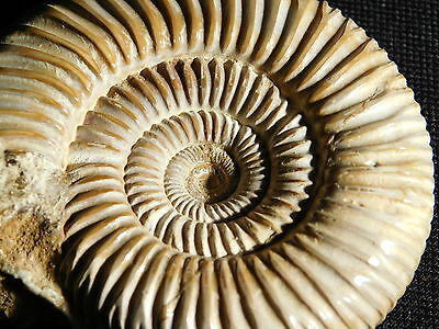 A Larger 100% Natural 200 Million YEAR Old AMMONITE Fossil Madagascar! 162gr