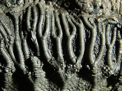 A BIG Nice 100% Natural 430 Million Year Old Crinoid or Sea Lily Fossil 2105gr e