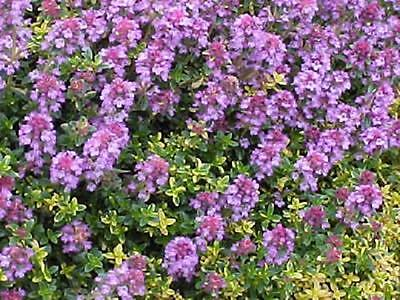 Pack x6 Creeping Thyme 'Doone Valley' Perennial Herb Plug Plants
