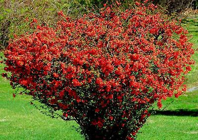 Japanese Quince 10 Seeds -Highly Ornamental,Beautiful Flowers,Hedge,Shrub,Bonsai