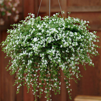 Kings Seeds - Bacopa Snowtopia (Multipellets) - 10