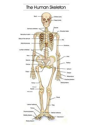 The Human Skelett Foto Bild Anatomy Skeletal System Mensch A3 A4 Poster