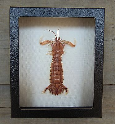 M5) Real MANTIS SHRIMP Squilla framed mount Taxidermy Display shellfish crab Sea