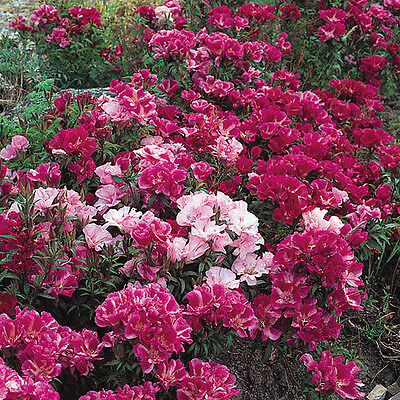Pack Flower Seed Godetia Dream Double Mixed King's Quality Seeds