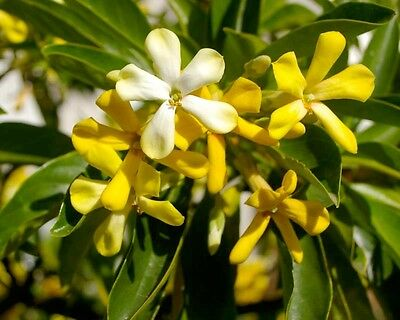 NATIVE FRANGIPANI (Hymenosporum flavum) 50 seeds