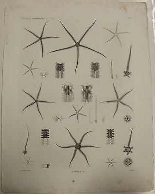 Egypt Ophiura Echinoderms 1820 Vivant Denon Large Imperial Size Antique Plate