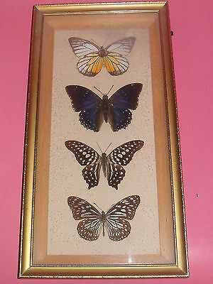 Lepidoptera - 4 Butterflies Framed - Prioneris, Charaxes, Graphium & Danaus