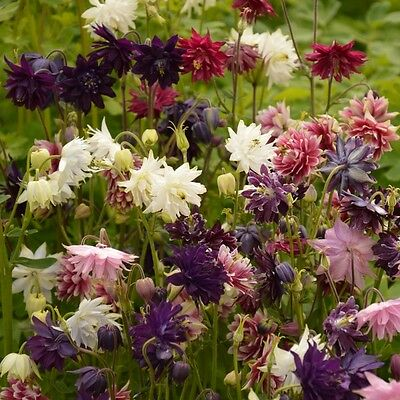 Aquilegia - Barlow Mixed - 200 Seeds