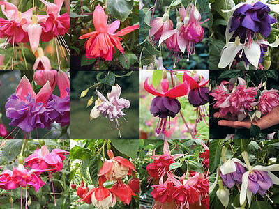 Pack x12 Hardy Bush Fuchsia 'Mixed Varieties' Summer Garden Plug Plants