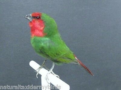 Red Headed Parrot Finch Real Bird Taxidermy Bird Mount