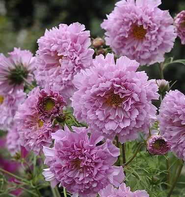 Kings Seeds - Cosmos, Double Click Rose Bon Bon - 75 Seeds
