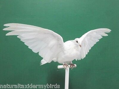 Wings Up Perched Fantail Pigeon Real Bird Taxidermy Bird Mount