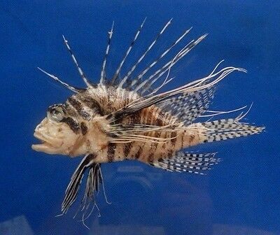 B398-64525 Mombasa lionfish -  Pterois mombasae, 125 mm Freeze Dried