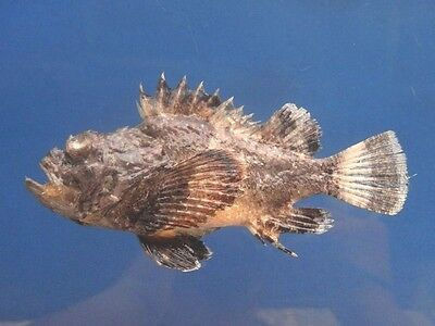 B399-64526 Stone fish - Scorpaenopsis diabolus, 130 mm, Freeze Dried Taxidermy