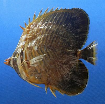 B341-62980 Triangular Butterflyfish - Chaetodon baronessa, 94.6 mm Freeze Dried
