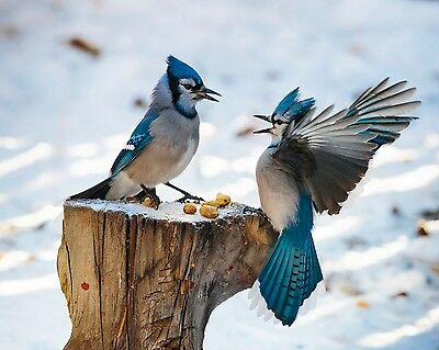 Blue Jay / BIRD 8 x 10 / 8x10 GLOSSY Photo Picture IMAGE #5