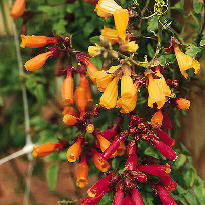 Kings Seeds - Eccremocarpus Tresco (Chilean Glory Vine) - 275 Seeds