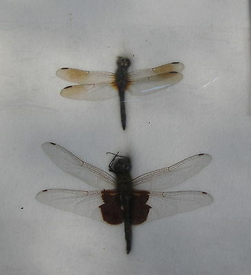 2 Real Dragonfly Specimens Mounted Under Glass 2 Sizes 1 Skimmer 1 Other