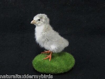 Lavender Guinea Fowl Chick Real Bird Taxidermy Mount