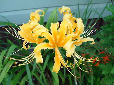 Lycoris- Yellow Spider Lily Exotic Plant - Flowering size bulb x 2 Free Post