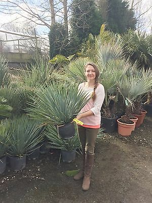 Yucca rostrata tropical exotic garden plant palm tree