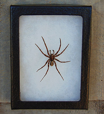 E123) Real Camo WOLF SPIDER Gladicosa pulchra 4X3 NICE Framed Taxidermy in USA