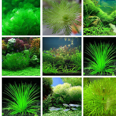 1000X Fish Tank Aquarium Decor Grass Seed Water Moss- Live Fern Aquatic Plant UK