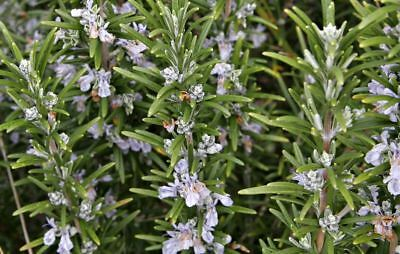 New Pack x6 Rosemary 'Officinalis' Garden Herb Garden Plug Plants
