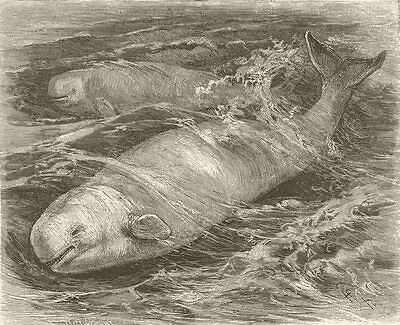 WHALES. The white whale 1894 old antique vintage print picture
