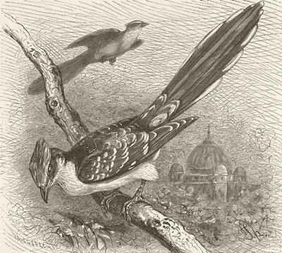 BIRDS. Great spotted cuckoo 1895 old antique vintage print picture