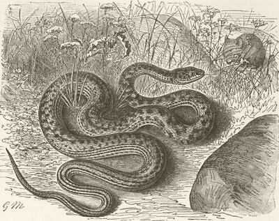 ANIMALS. The dark green snake 1896 old antique vintage print picture