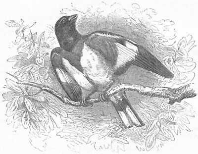 PASSERINE SPARROW. Rose-breasted Hawfinch c1870 old antique print picture