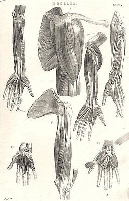 ANATOMY. Muscles (3)  1800 old antique vintage print picture
