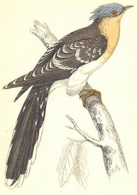 BIRDS. Great Spotted Cuckoo (Morris) 1880 old antique vintage print picture