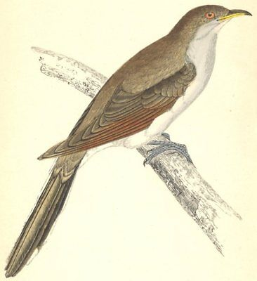 BIRDS. Yellow- Billed Cuckoo (Morris) 1880 old antique vintage print picture