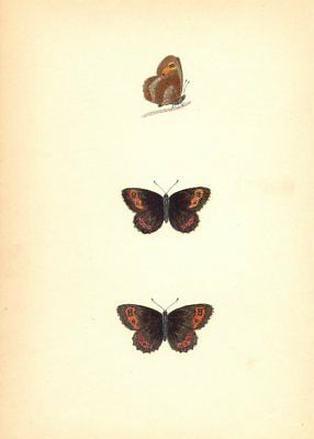 BUTTERFLIES. Scotch Argus (Morris) 1870 old antique vintage print picture