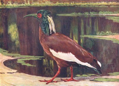 MADAGASCAR. Birds. Crested Ibis. (Madagascar) (Hutchinson) 1927 old print