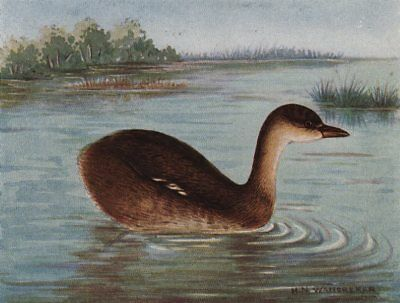 INDIAN BIRDS. The Little Grebe or Dabchick 1943 old vintage print picture
