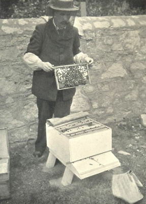 BEES AND BEE-KEEPING. Driving Bees from A Skep 1912 old antique print picture